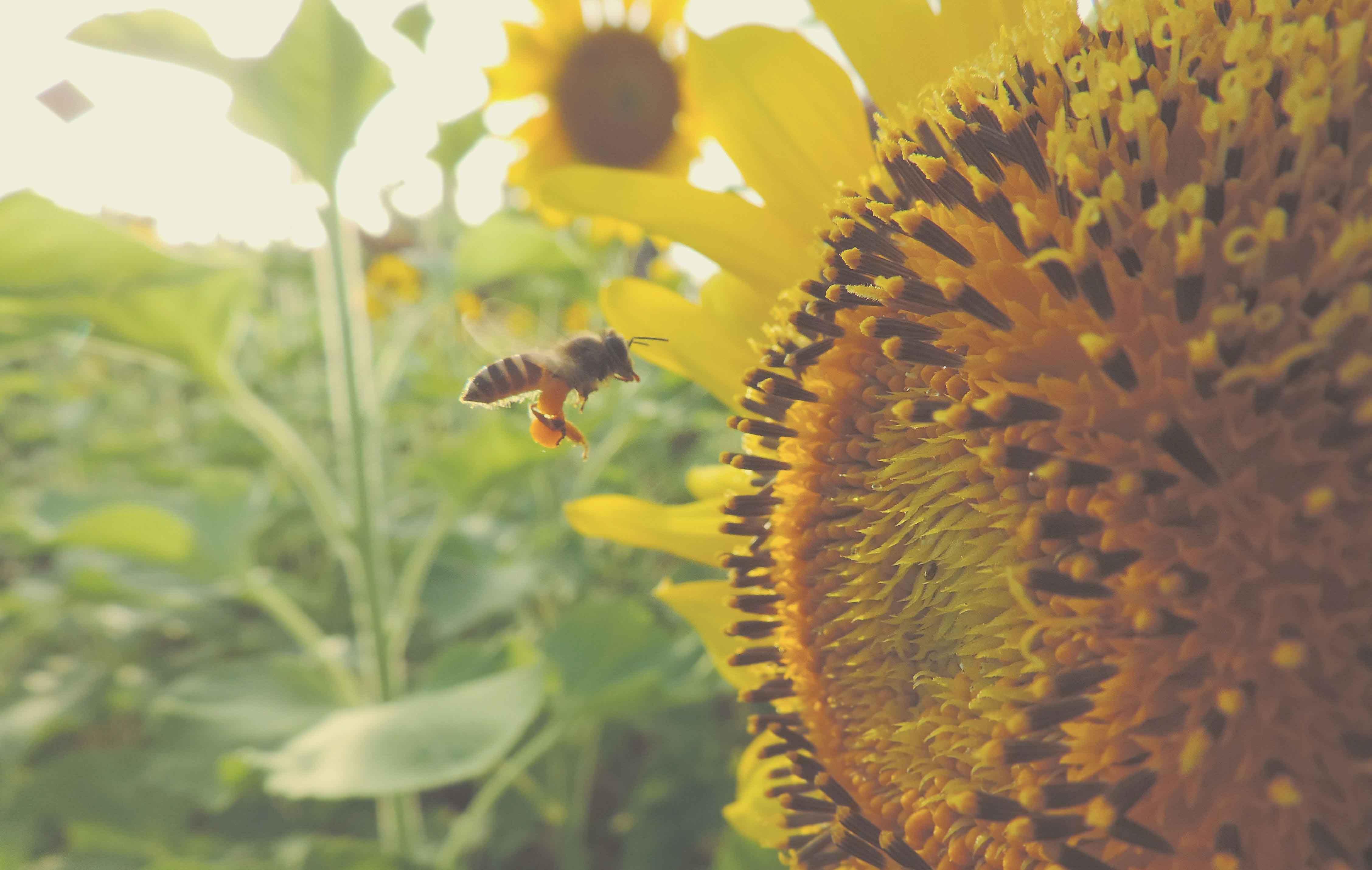 abeja aproximándose a un girasol