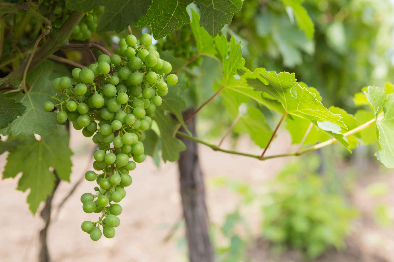 Parra con racimo de uvas